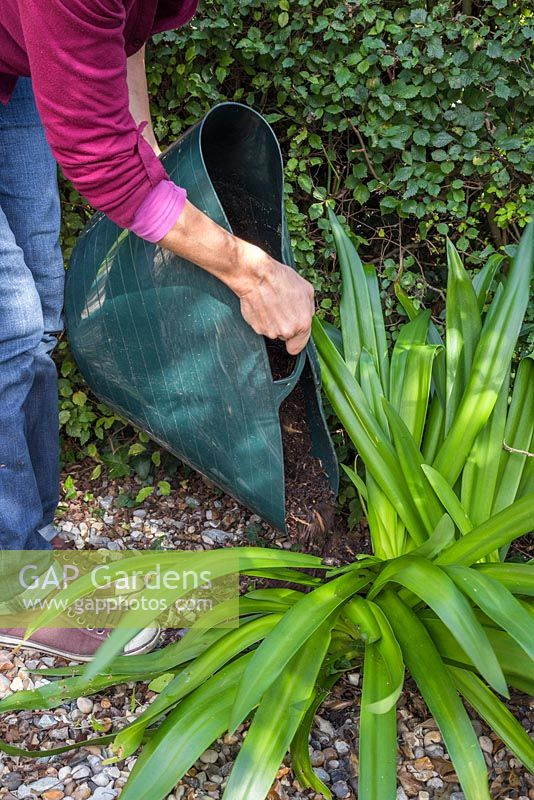 Mulching the base of a cut back Agapanthus with natural garden compost