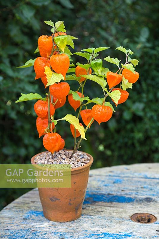 gap gardens physalis 39 chinese lampion 39 in terracotta pot image no 0554946 photo by gap photos. Black Bedroom Furniture Sets. Home Design Ideas