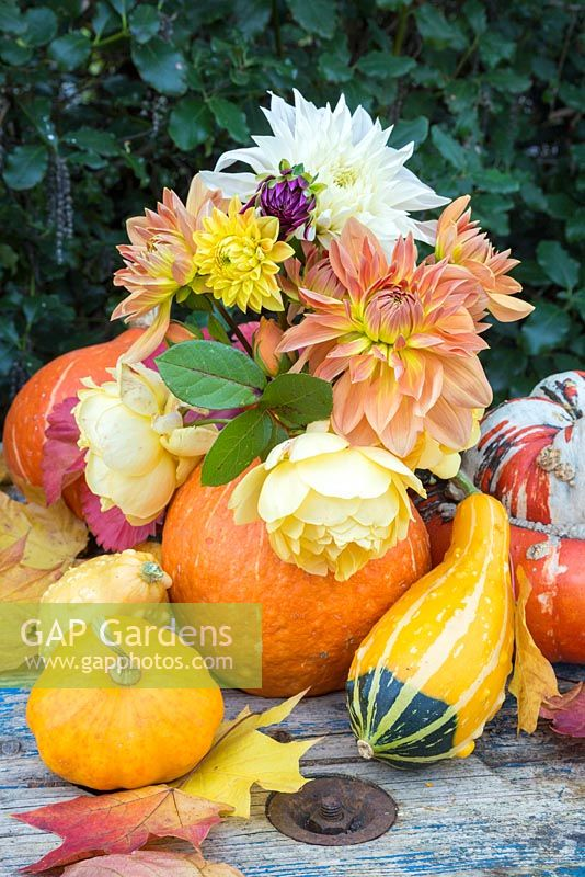 A pumpkin used as a vase for holding dahlias and roses