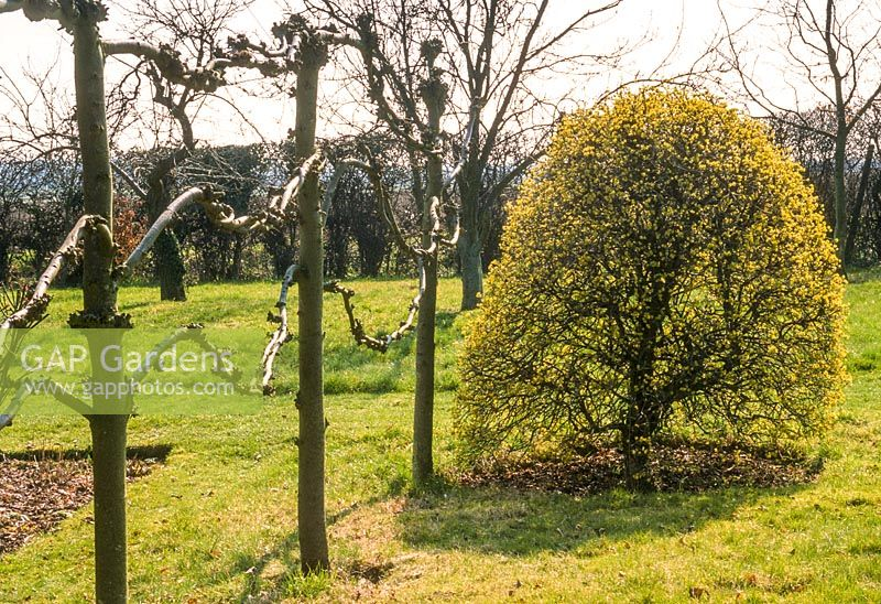 pleached lime trees after pruning in winter cornus mas trimmed to shape february