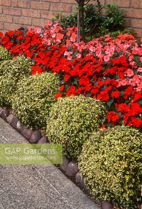 GAP Gardens Euonymus fortunei Emerald n Gold trained into