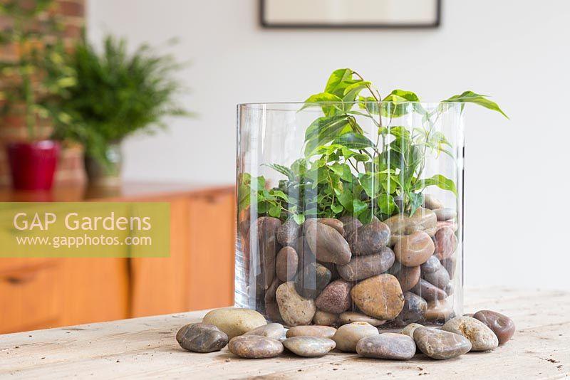Gap Gardens A Glass Vase Terrarium Planted With Ficus Benjamina