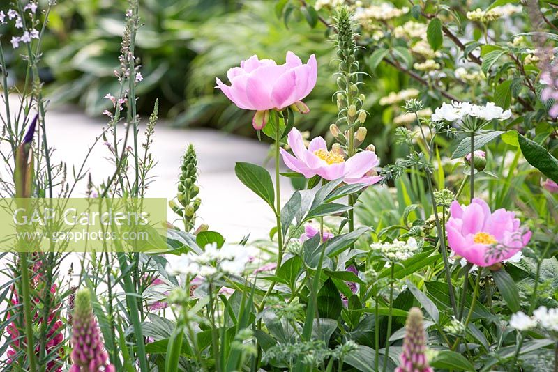 Breakthrough Breast Cancer Garden. Paeonia lactiflora 'Nymphe' with a view to the path. Designer - Ruth Willmott. Sponsor - Breakthrough Breast Cancer