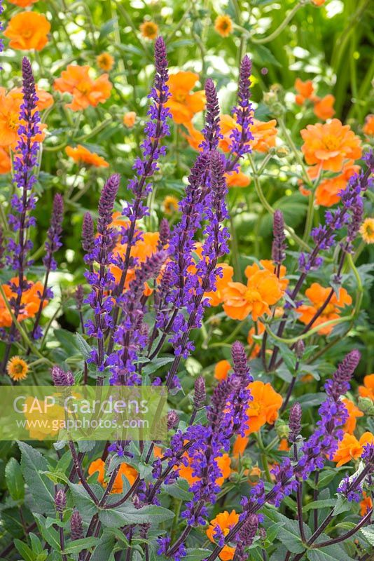 The Morgan Stanley Healthy Cities Garden. Salvia nemorosa 'Caradonna' with Geum 'Prinses Juliana'. Designer - Chris Beardshaw. Sponsor - Morgan Stanley
