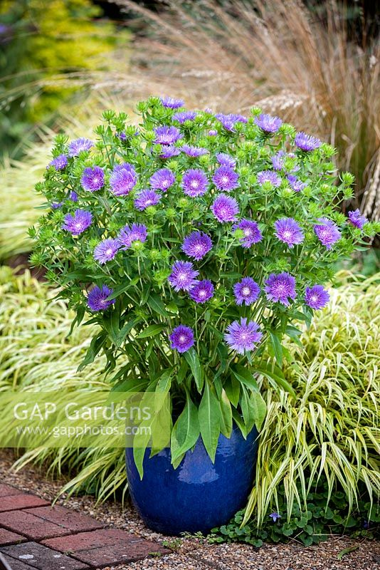 Stokesia Blue Frills Perennial September