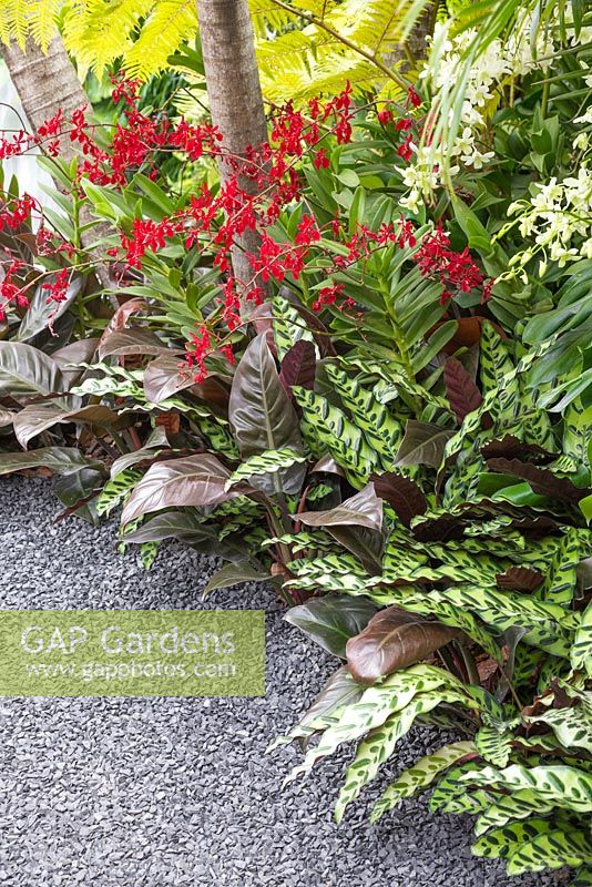 A border featuring Renanthera '20th Singapore WOC 2011', Calathea lancifolia and Philodendron 'Imperial Red' meets gravel path.  The Hidden Beauty of Kranji. RHS Chelsea Flower Show 2015.