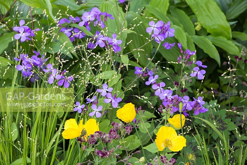 Lunaria annua 'Corfu Blue' with Geranium phaeum var. phaeum 'Samobor', Melica altissima 'Alba' and Meconopsis cambrica. The Laurent-Perrier Chatsworth Garden. RHS Chelsea Flower Show, 2015.