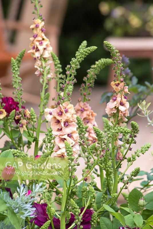 Verbascum 'Cotswold Beauty' with Rosa 'Chianti'. The M and G Garden. RHS Chelsea Flower Show, 2015.