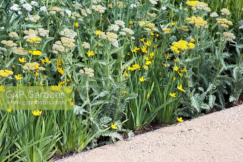 Gravel path beside a border of Achillea 'Moonshine' with Sisyrinchium californicum 'Yellow Stone'. The Telegraph Garden. RHS Chelsea Flower Show, 2015.