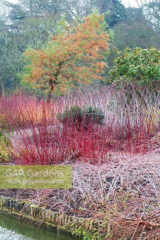 Gap Gardens Winter Garden With Cornus Sanguinea 39 Midwinter Fire 39 Rubus Cockburnianus Salix