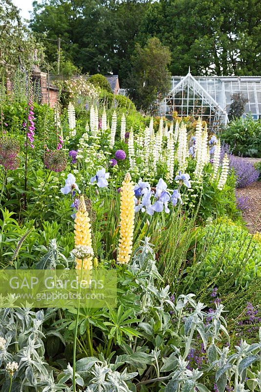 Gap gardens lupinus yellow chandelier and noble maiden lupinus yellow chandelier and noble maiden flowering with irises in a long aloadofball Gallery