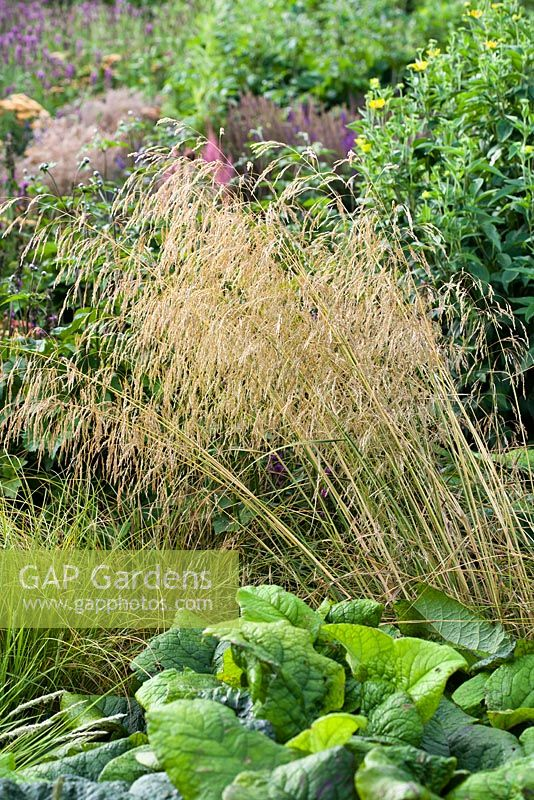 Deschampsia cespitosa - Tufted Hair Grass