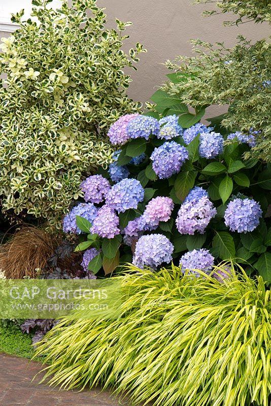 gap gardens hakonechloa macra 39 aureola 39 with hydrangea. Black Bedroom Furniture Sets. Home Design Ideas