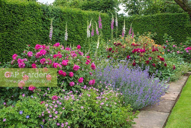 Rosa 'Darcey Bussell' and Rosa 'Wild Edric' in a border with nepeta, foxgloves and geraniums beside yew hedge.