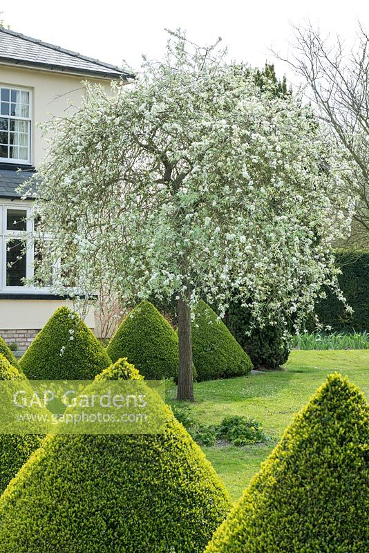 gap gardens pyrus salicifolia 39 pendula 39 and box topiary cones image no 0558569 photo by. Black Bedroom Furniture Sets. Home Design Ideas