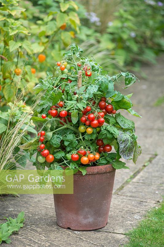 Tomato Bitonto F1. Dwarf bush tomato in terracotta pot