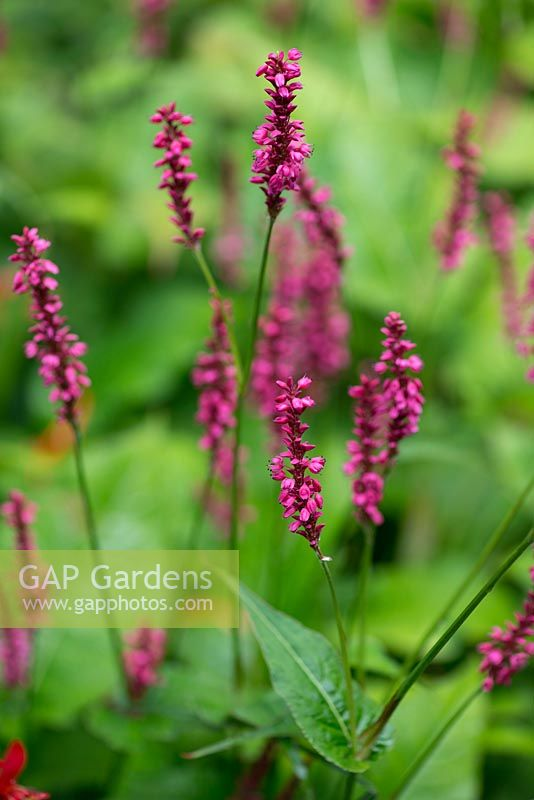 Gap gardens persicaria affinis firetail a long flowering persicaria affinis firetail a long flowering perennial which produces flowers from mid summer through autumn mightylinksfo