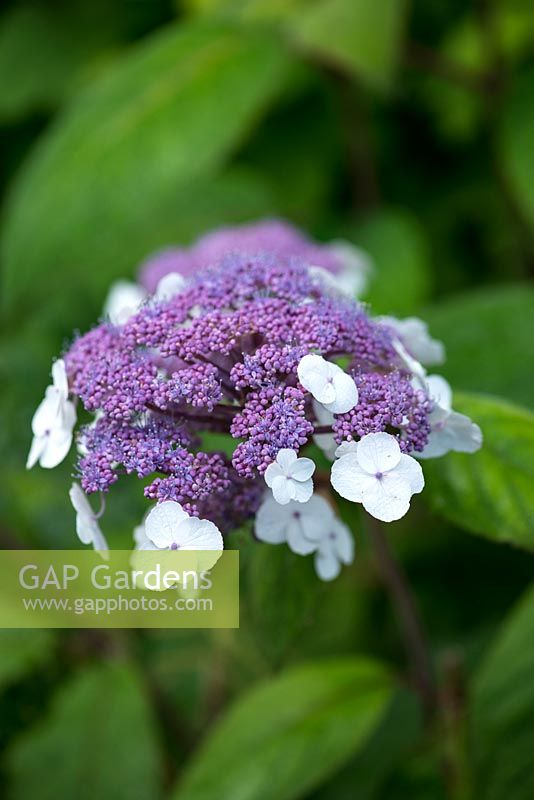 gap gardens hydrangea aspera macrophylla is a medium. Black Bedroom Furniture Sets. Home Design Ideas
