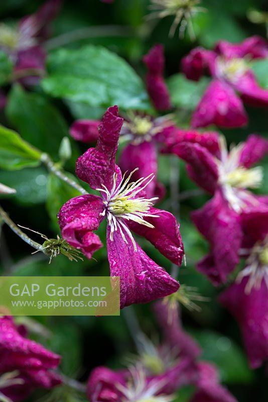 gap gardens clematis etoile violette a vigorous late. Black Bedroom Furniture Sets. Home Design Ideas