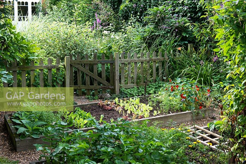 A town garden potager with raised vegetable beds with salad leaves and nasturtium behind a picket fence.