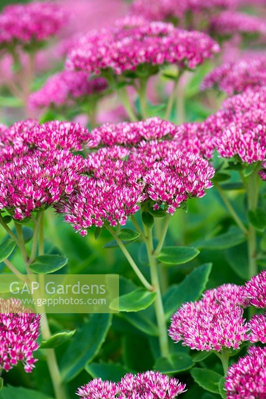 Gap Gardens Sedum 39 Autumn Joy 39 A Perennial With