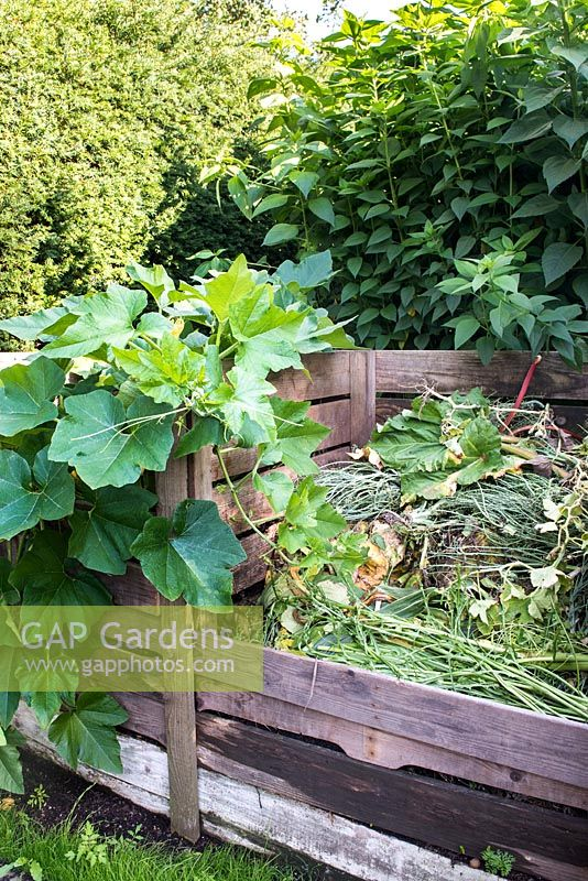 Compost bins with pumpkins planted in compost heap