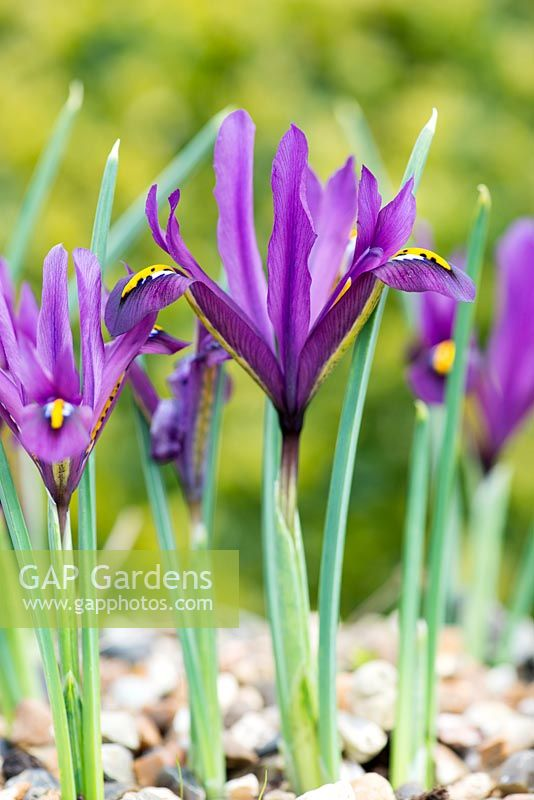 gap gardens iris reticulata 39 j s dijt 39 winter. Black Bedroom Furniture Sets. Home Design Ideas