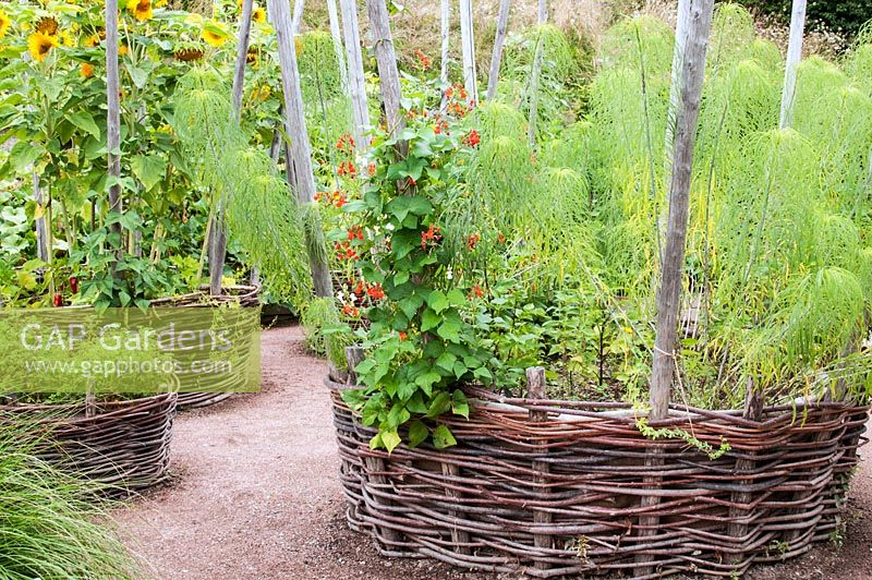 Potager Garden With Circular Woven Wicker Baskets With Wooden Pole Supports  Containing Helianthus Salicifolius   Sunflower