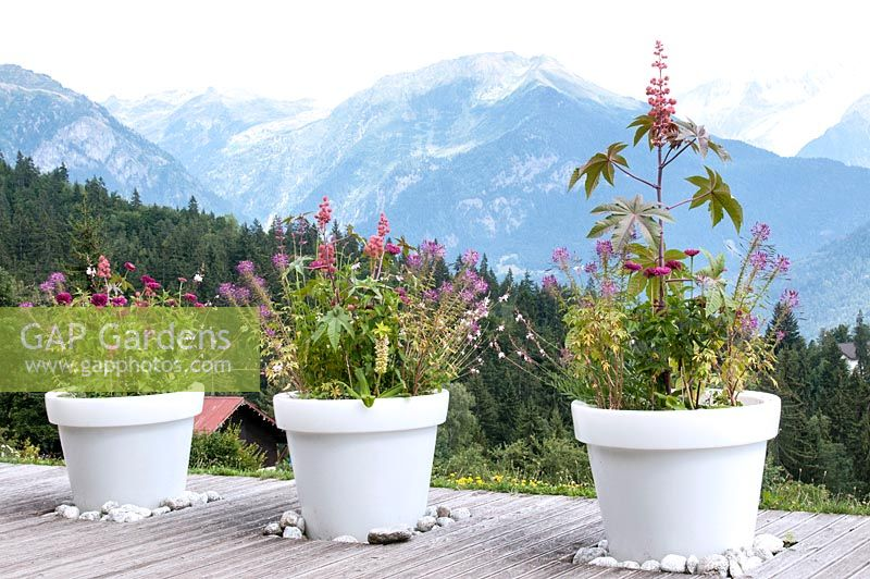 Large white pots with colour themed planting of Ricinus communis Eucomis Zinnia Gaura and Cleome on decking overlooking snow capped mountains in the Alps Jardin des Cimes Chamonix, France, July