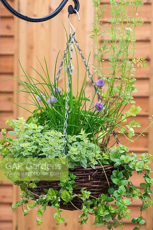 Herb hanging basket planted with trailing Indian mint - Satureja douglasii, chives, French parsley, moss curled parsley, dill  and oregano 'Country Cream'.