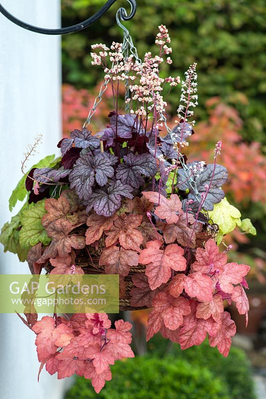 Foliage hanging basket with Heuchera 'Shanghai' in the middle, edged by trailing Heucherellas 'Glacier Falls', Redstone Falls' and 'Yellowstone Falls.' 8 weeks after planting.