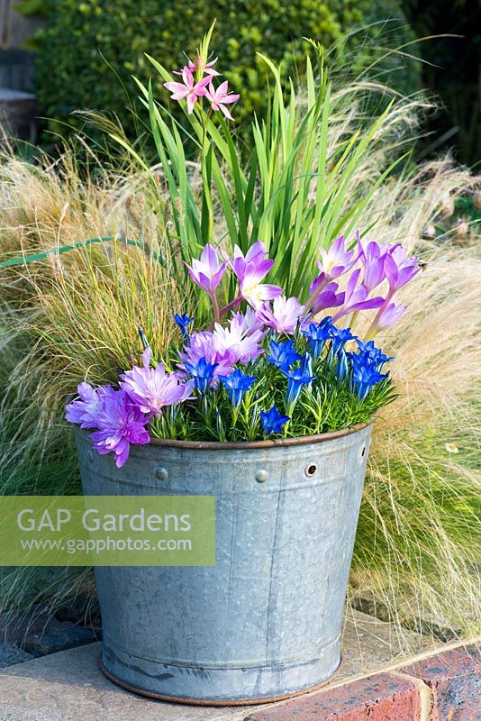 An October Bucket planted with Gentiana 'The Caley', Schizostylis coccinea 'Fenland Daybreak', Pennisetum alopecuroides, Colchicum 'Waterlily' and Colchicum speciosum.
