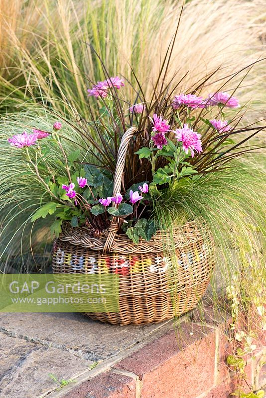 A wicker basket planted with pot mums Chrysanthemum 'Yahoo Purple', Cyclamen hederifolium, red hook sedge Uncinia rubra, frosted sedge grass Carex 'Frosted Curls', Mexican feather grass Stipa tenuissima 'Pony Tails' and trailing Indian mint Saturega douglasii