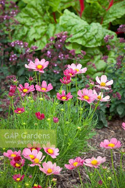 GAP Gardens - Cosmos bipinnatus \'Antiquity\' growing with ruby chard ...