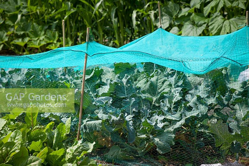 Brassicas protected from birds with netting attached to canes