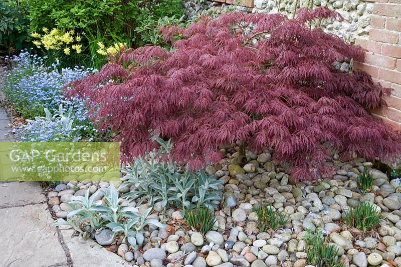 gap gardens acer palmatum var dissectum dissectum. Black Bedroom Furniture Sets. Home Design Ideas
