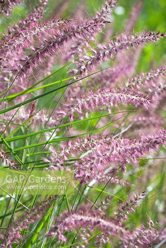 gap gardens pennisetum orientale 39 karley rose 39 image no 0563629 photo by robert mabic. Black Bedroom Furniture Sets. Home Design Ideas