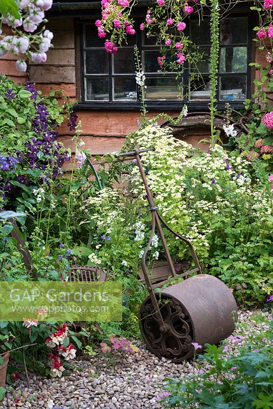 A cottage garden with cast iron roller by clump of white feverfew, in front of a wooden summerhouse Clematis 'Etoile Violette'.