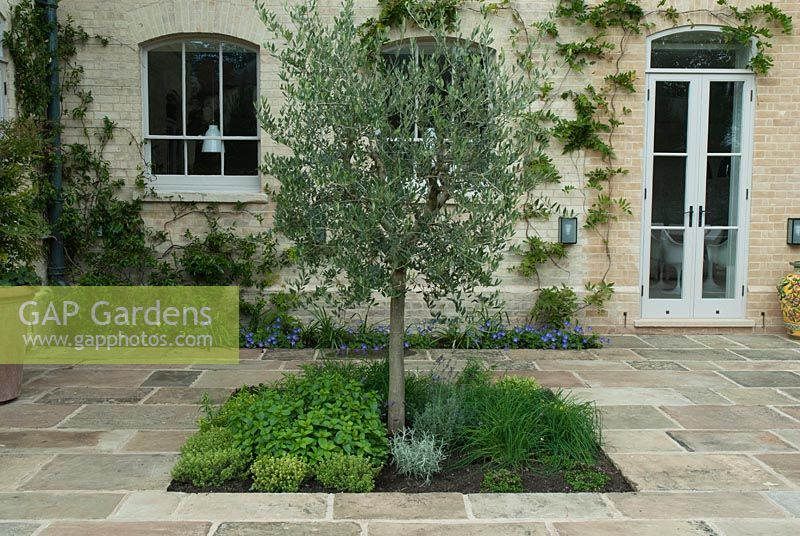 GAP Gardens - Stone paving by kitchen, Olea europaea - Olive tree in ...
