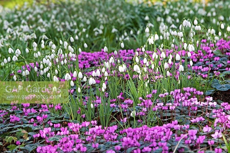 Galanthus nivalis and Cyclamen coum  at Colesbourne Park, Gloucestershire - February