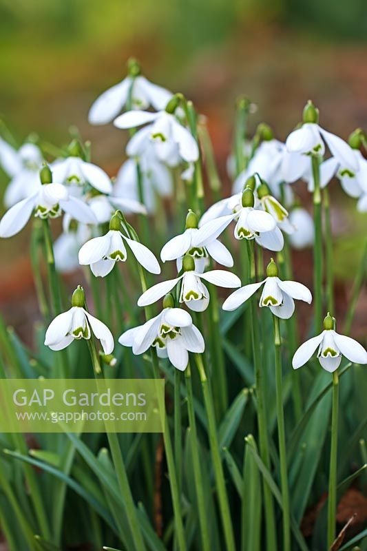 Galanthus 'S.Arnott' - Colbourne Park, Gloucestershire, February