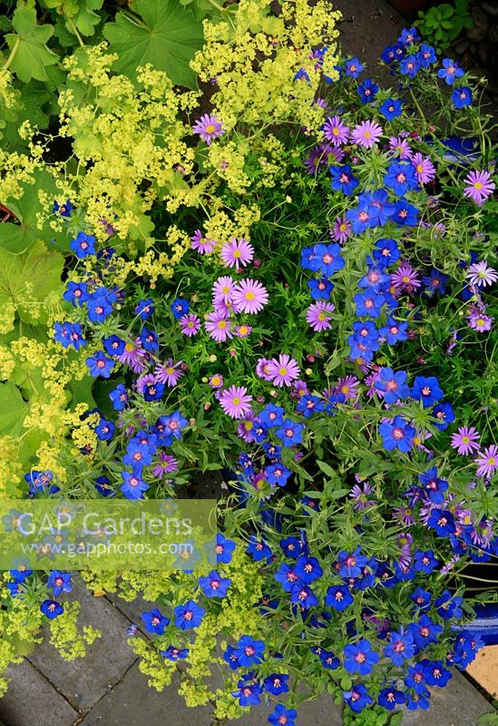 Brachycome 'Brasco Violet' with Anagallis 'Sky Lover' spilling out of a large blue glazed bowl across paving and a clump of Alchemilla mollis.