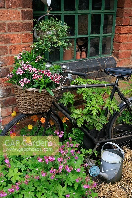 A pensioned off bike provides a home in its wicker basket for Sweet Williams whilst Welsh Poppies and Geranium macrorrhizum 'Bevan's Variety' grows through the spokes. An old kettle is suspended in front of a tac room window with variegated clover spilling down the sides. June. West Midlands