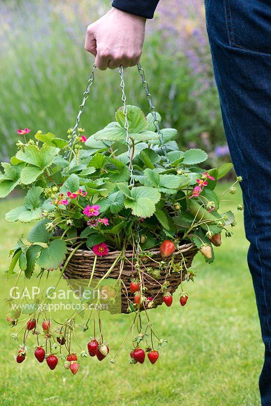 Gap gardens hanging basket of strawberry tarpan bears a steady hanging basket of strawberry tarpan bears a steady supply of bright pink flowers and mightylinksfo