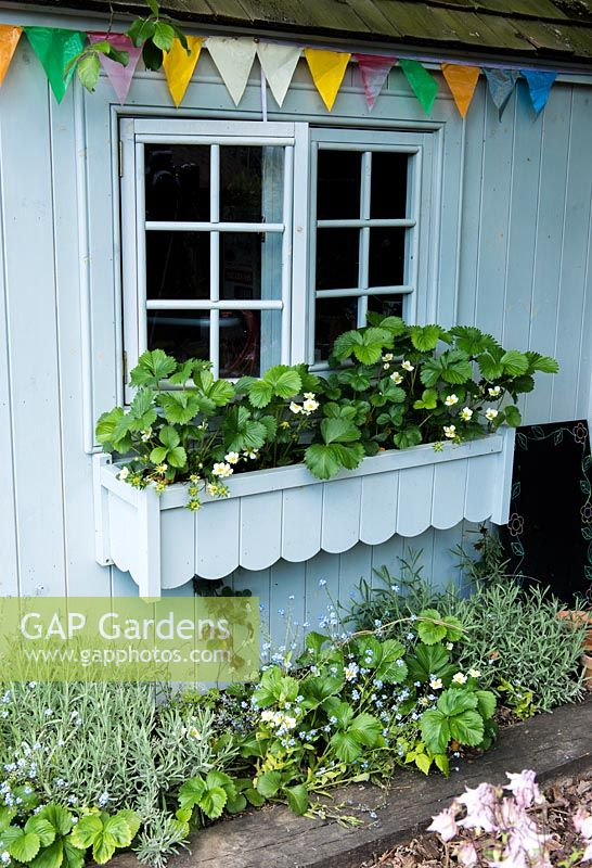 A painted children's shed with window box growing strawbery plants.