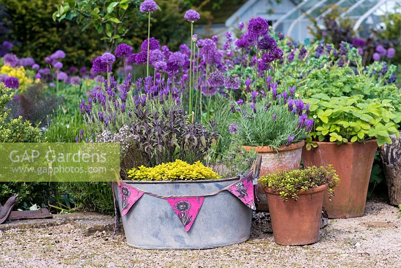 A small container garden with a metal bath tub, terracota pots planted with herbs including  lavender, oregano, thyme, sage and strawberry.