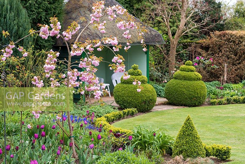 A spring garden with Prunus 'Kiku Shidare Zakura' underplanted with tulips, in front of topiary box and a thatched summer house.