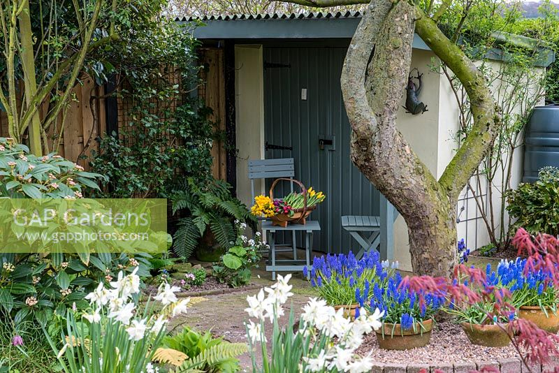 A painted shed and storeroom behind spring container planted with Narcissus and Muscari.    Blue wooden slatted chair and table.