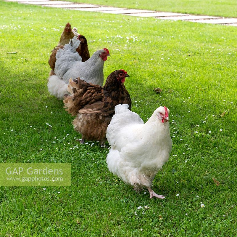 Chickens on parade on the lawn.