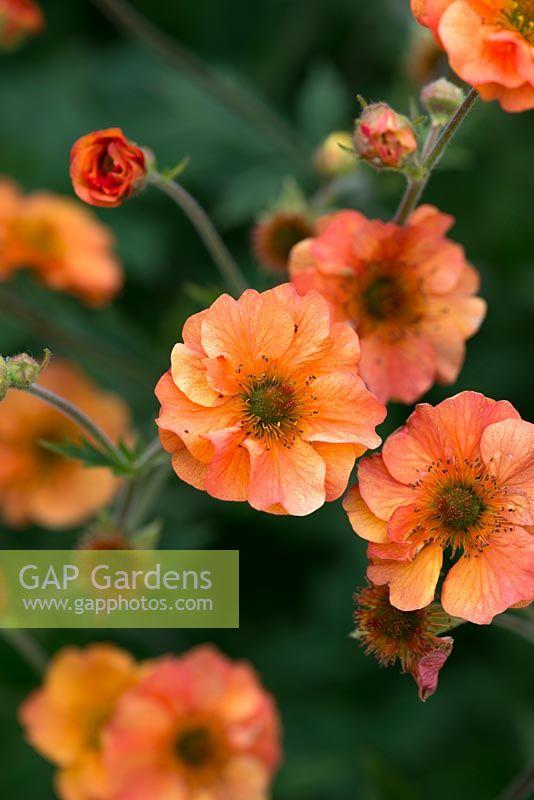 Gap gardens geum avens prinses juliana a perennial with pinkish geum avens prinses juliana a perennial with pinkish orange double flowers mightylinksfo